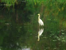 Free Egret Reflection Royalty Free Stock Photo - 3104705