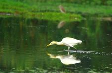 Free Egret Reflection Royalty Free Stock Photo - 3104715