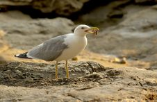 Free Seagull Royalty Free Stock Photo - 3104895
