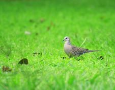 Free Dove Royalty Free Stock Photography - 3105057