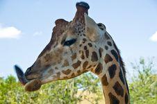 Free Funny Giraffe - Animal Tongue Stock Photography - 3105372