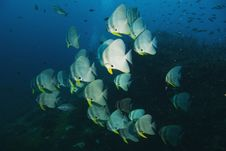 School Of Batfish Stock Images