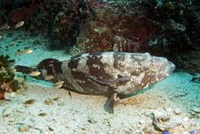 Free Potato Grouper Royalty Free Stock Image - 3105536