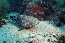 Free Potato Grouper Stock Images - 3105544