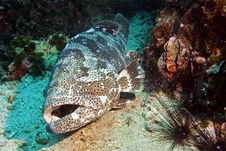 Free Potato Grouper 5 Royalty Free Stock Photography - 3105597
