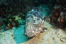 Free Potato Grouper 6 Stock Photography - 3105622