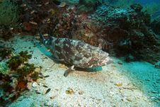 Free Potato Grouper 7 Stock Photography - 3105692