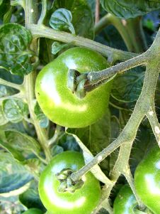 Free Green Tomatoes 7 Stock Images - 3106284