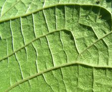 Free Underside Of A Green Leaf 23 Stock Photo - 3106370