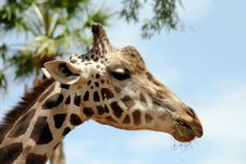 Free Giraffe In The Palms At Zoo Stock Images - 3106654