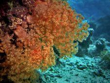 Free Orange Soft Coral Royalty Free Stock Photos - 3106938