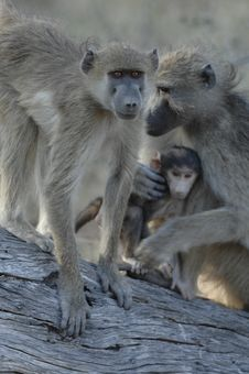 Free Family Of Chacma Baboons Royalty Free Stock Image - 3107316