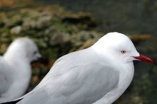 Free Gull Times Royalty Free Stock Image - 3107366