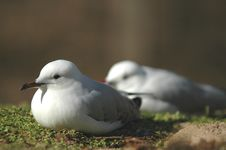 Free Resting Gulls Royalty Free Stock Photos - 3107438