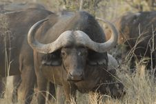 Free Single African Buffalo Royalty Free Stock Photo - 3107725