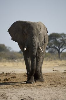 Free Lone Male Elephant Walking Royalty Free Stock Images - 3107879