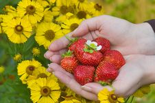 Free Strawberries And Yellow Flower Royalty Free Stock Photography - 3108557