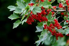 Free Red Currant Stock Image - 3109411