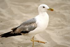 Free Seagull On The Sand Royalty Free Stock Photos - 3109498