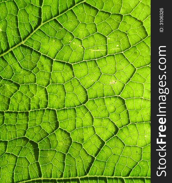 Underside Of A Green Leaf 20
