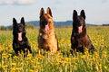Free Three German Shepherds Royalty Free Stock Photo - 31002795