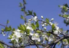 Free Flowering Cherry. Royalty Free Stock Image - 31001556