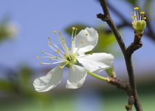 Free Flowering Cherry. Royalty Free Stock Photos - 31001688