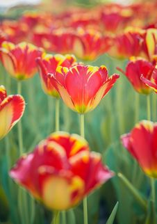 Free Tulips In Garden Stock Images - 31002494