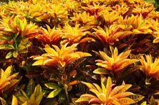 Croton Royalty Free Stock Photos