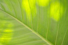 Free Caladium Leaf Royalty Free Stock Photo - 31006455