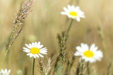 Free Daisy Macro Stock Image - 31006901