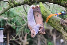 Free Squirrel On A Peanut Feeder. Royalty Free Stock Photos - 31007638