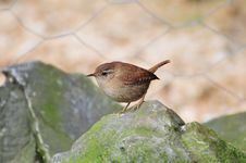Free A Wee Wren On A Rock. Stock Photo - 31007650