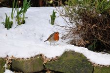 Free Robin In The Snow. Royalty Free Stock Photos - 31007678