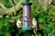 Free Pair OfGoldfinch On A Feeder. Royalty Free Stock Photography - 31007737