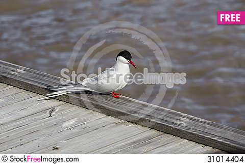 Free Tern Stock Images - 31014404