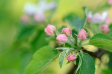 Free Pink Flower Buds On Apple Tree In Spring Stock Images - 31013134