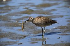 Free Whimbrel Royalty Free Stock Photos - 31016918