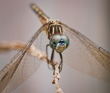 Free Female Blue Dasher Dragonfly Royalty Free Stock Photography - 31018477
