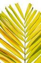 Free Petal Palm Leaf Stock Images - 31025984
