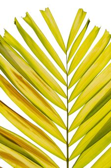 Free Petal Palm Leaf Stock Images - 31025984