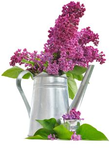 Free Flowers Of Lilac And Metal Pot Royalty Free Stock Photo - 31028165