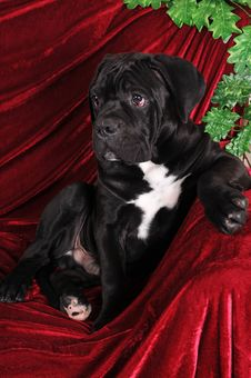 Free Black Puppy Cane Corso Portrait Royalty Free Stock Image - 31028276