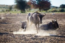 Free Dusty Wildebeest Stock Photography - 31029612