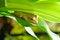 Free Green Tree Frog Royalty Free Stock Photos - 31025588