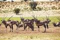 Free Herd Of Gemsbok Royalty Free Stock Photos - 31030458