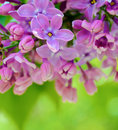 Free Purple Lilaс Flowers On The Blurred Green Background Royalty Free Stock Photo - 31033585