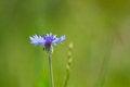 Free Blue Cornflower Royalty Free Stock Image - 31034346