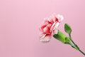 Free Carnation Stock Images - 31036114