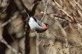 Free Eurasian Bullfinch Royalty Free Stock Photography - 31036127